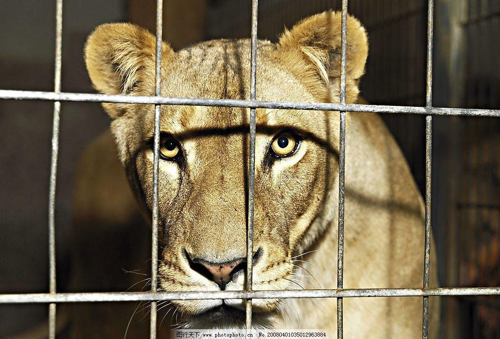 笼中狮子 狮子 铁笼 动物园 生物世界 野生动物 摄影图库 300 jpg