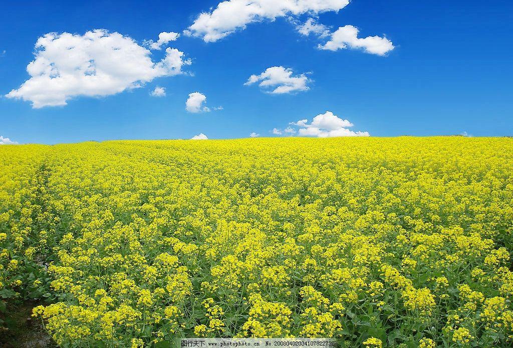 油菜花 油菜花,天空,春天,黄色 旅游摄影 自然风景 山水风景 摄影图库