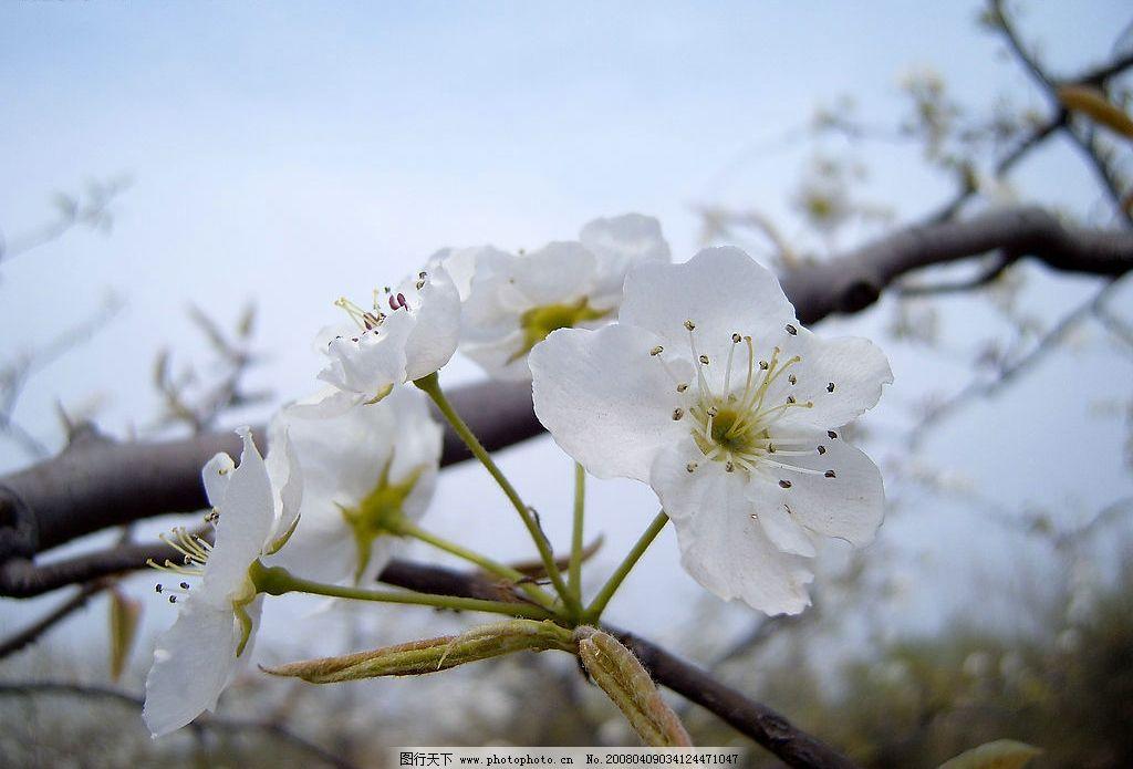 梨花图片_自然风景_旅游摄影_图行天下图库