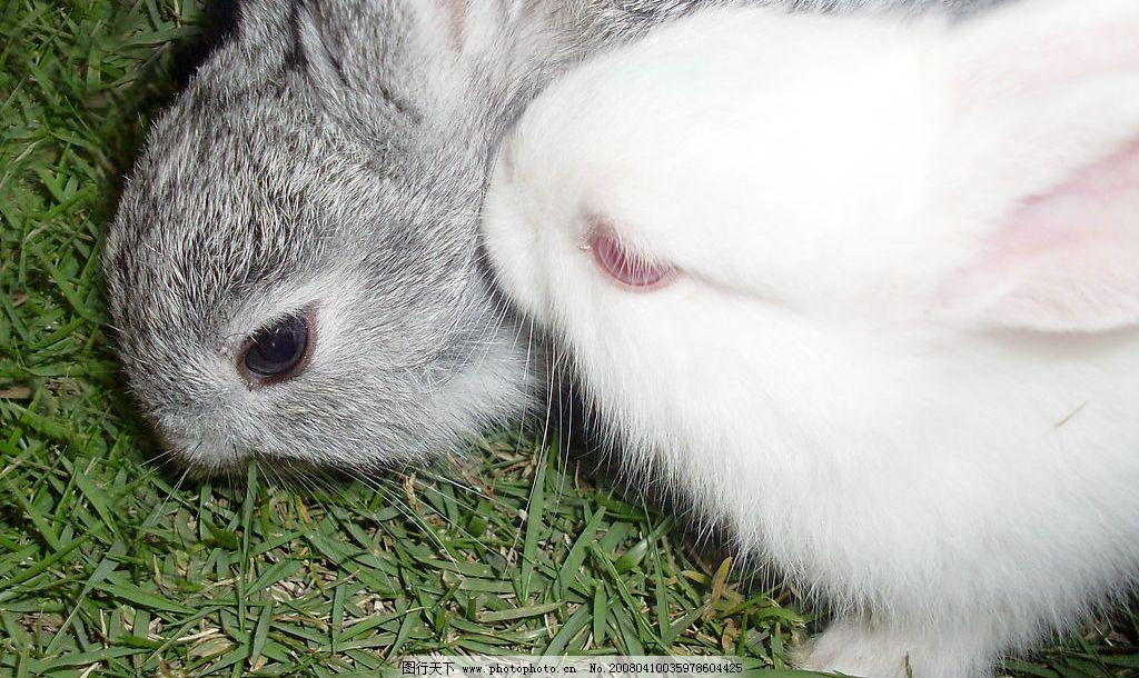 小兔乖乖 小灰兔 小白兔 绿草地 生物世界 家禽家畜 动物 摄影图库 9
