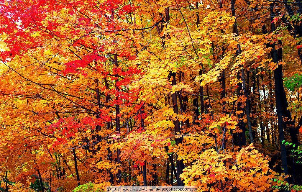 秋天树木 香山红叶图片