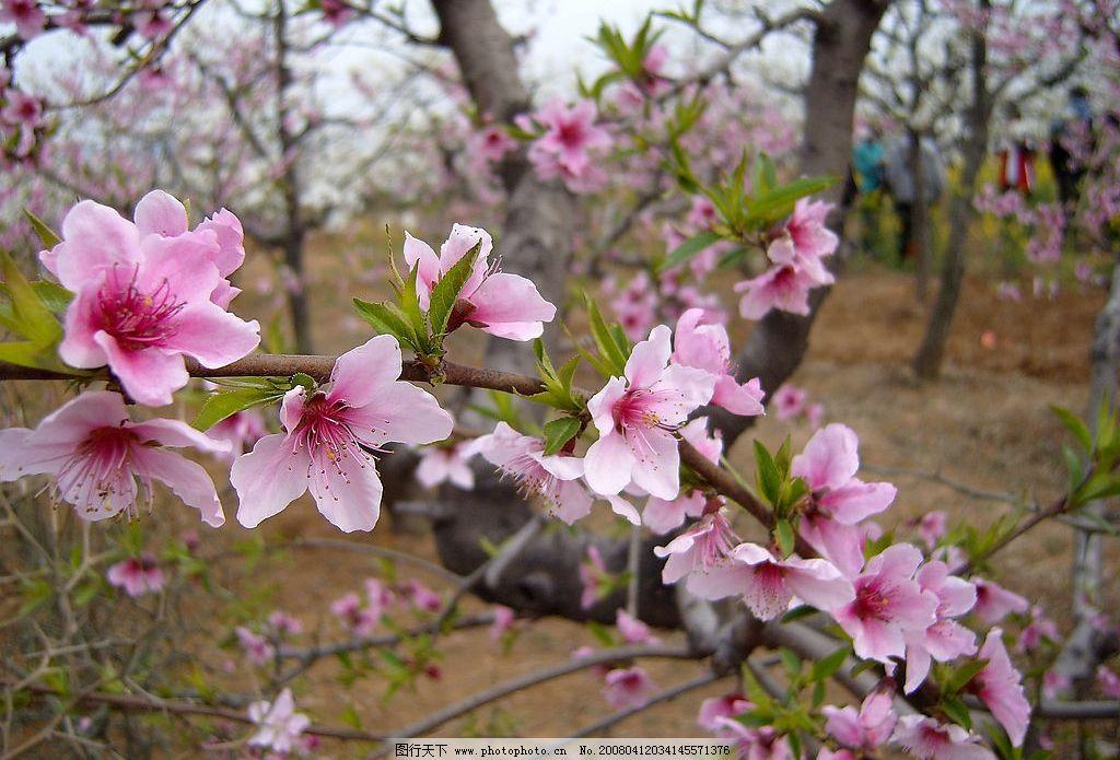 桃花 鲜花 花朵 花卉 踏青 旅游 风景 树木 纯洁 大自然 春天