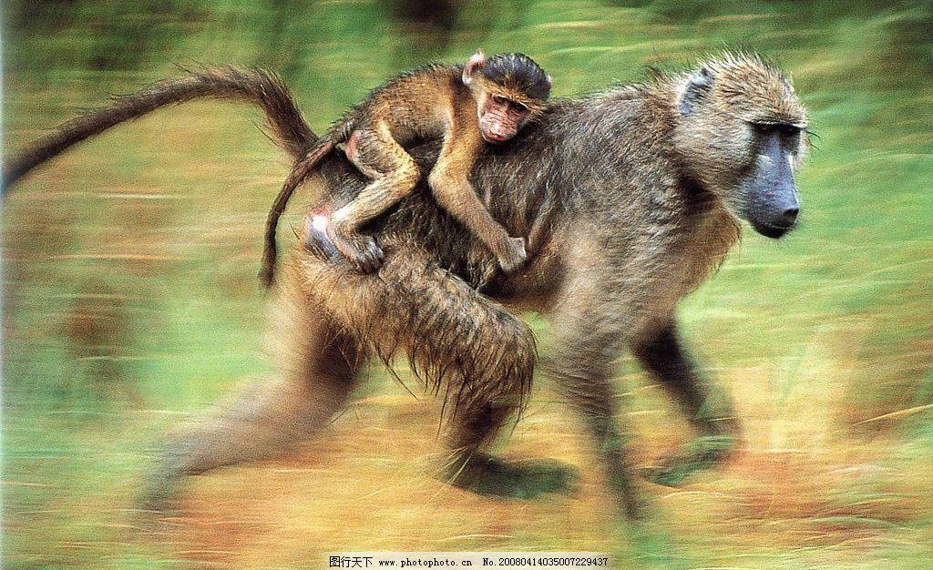 奔跑中的猴子 生物世界 野生动物 摄影图库