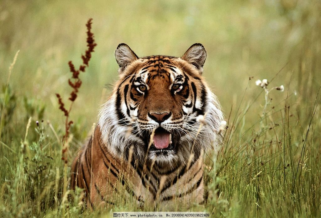 老虎写真 老虎 生物世界 野生动物 老虎写真2 摄影图库 300 jpg