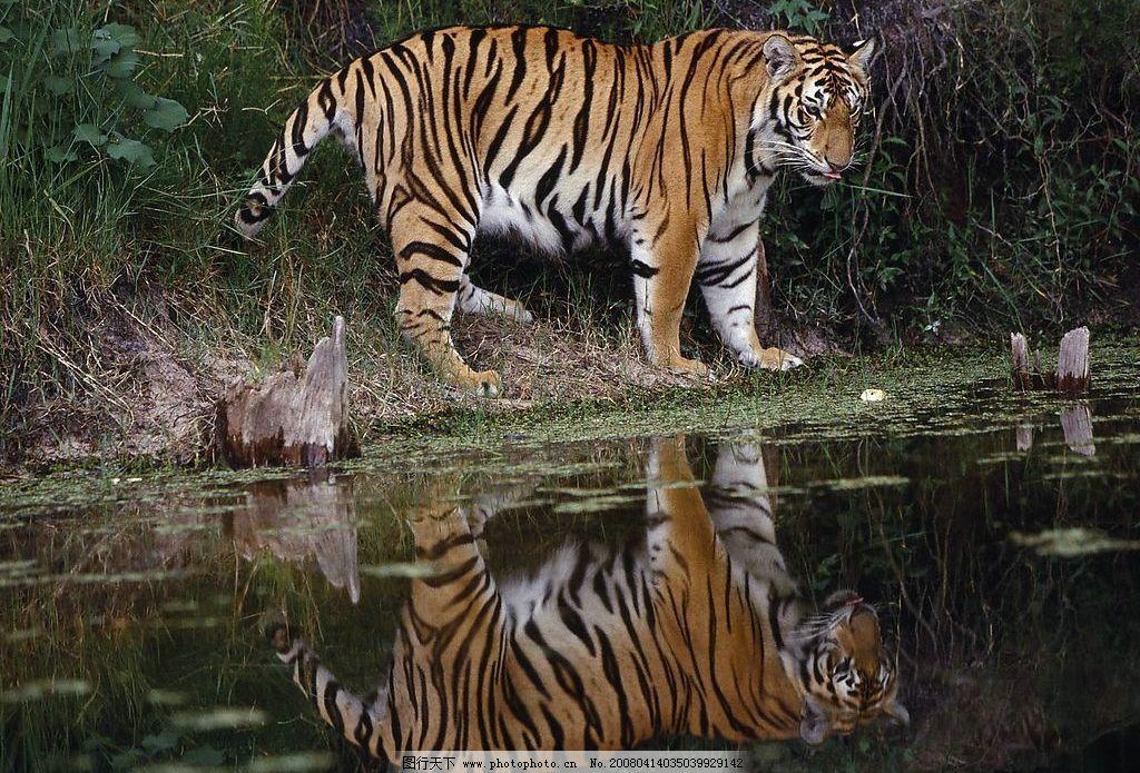 老虎写真 老虎 生物世界 野生动物 老虎写真2 摄影图库 72 jpg
