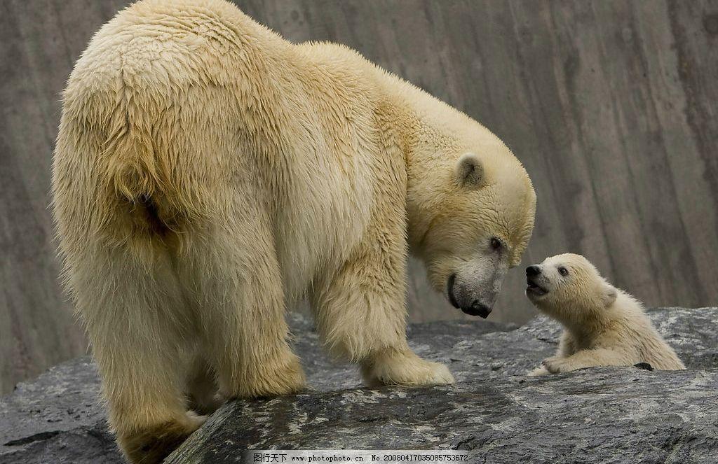 明星北极熊 北极熊 生物世界 野生动物 摄影图库 72 jpg