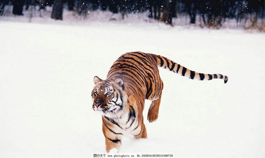 野生动物 野生 动物 素材 雪地的老虎 生物世界 生物世界——野生动物