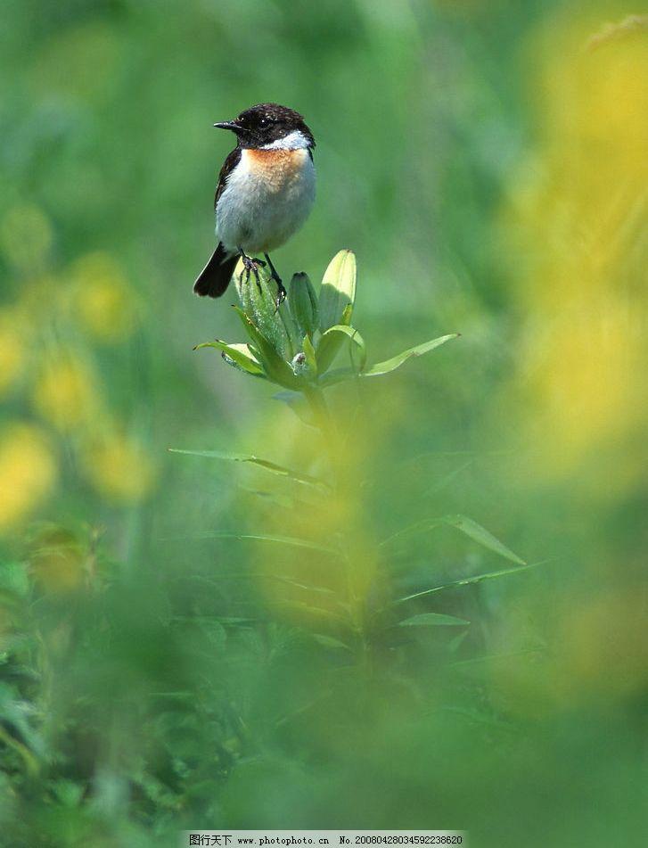 小鸟 百合 绿色 四季 自然 田间 花蕾 植物 动物 鸟 菜地 自然景观