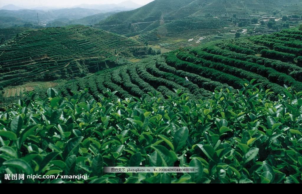 茶园风景 茶园 茶叶 山 风景 自然景观 山水风景 摄影图库 300 jpg
