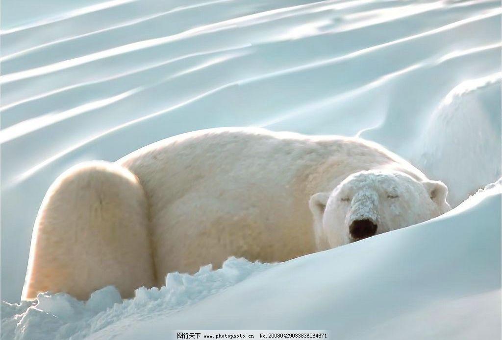 北极 熊 雪地