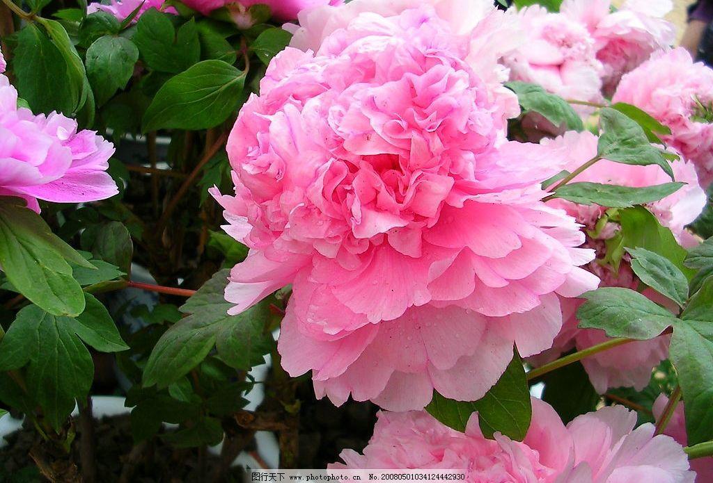 牡丹花 粉红色 旅游摄影 摄影图库