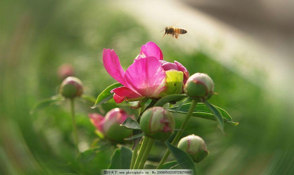 诱惑 花卉初夏芍药中草药蜜蜂飞舞 自然景观 自然风景 花绽笑靥