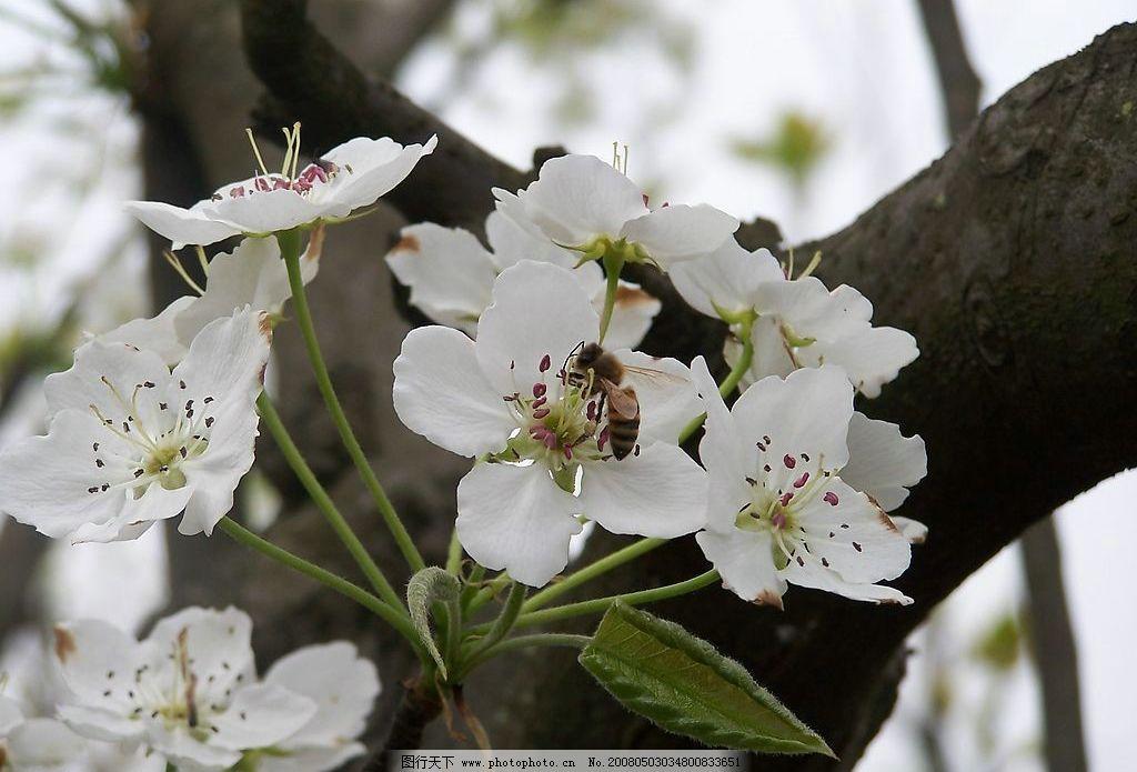 梨花与蜜蜂 梨花 花 春天 美景 自然景观 自然风景 摄影图库 230 jpg