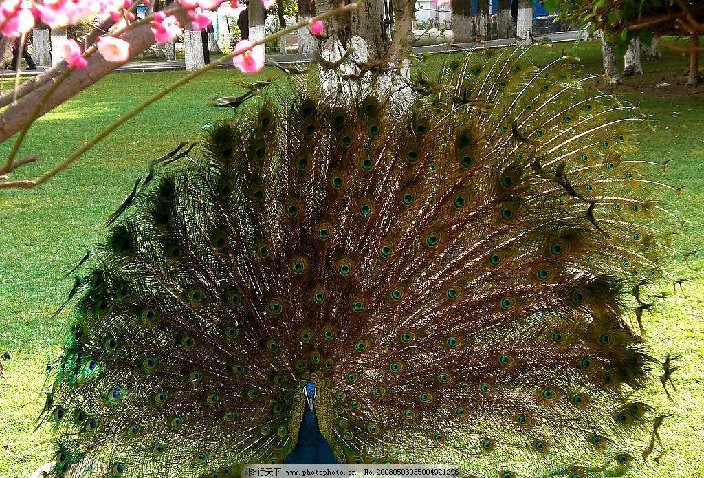 孔雀 西昌 动物园 孔雀开屏 生物世界 野生动物 摄影 摄影图库 72 jpg