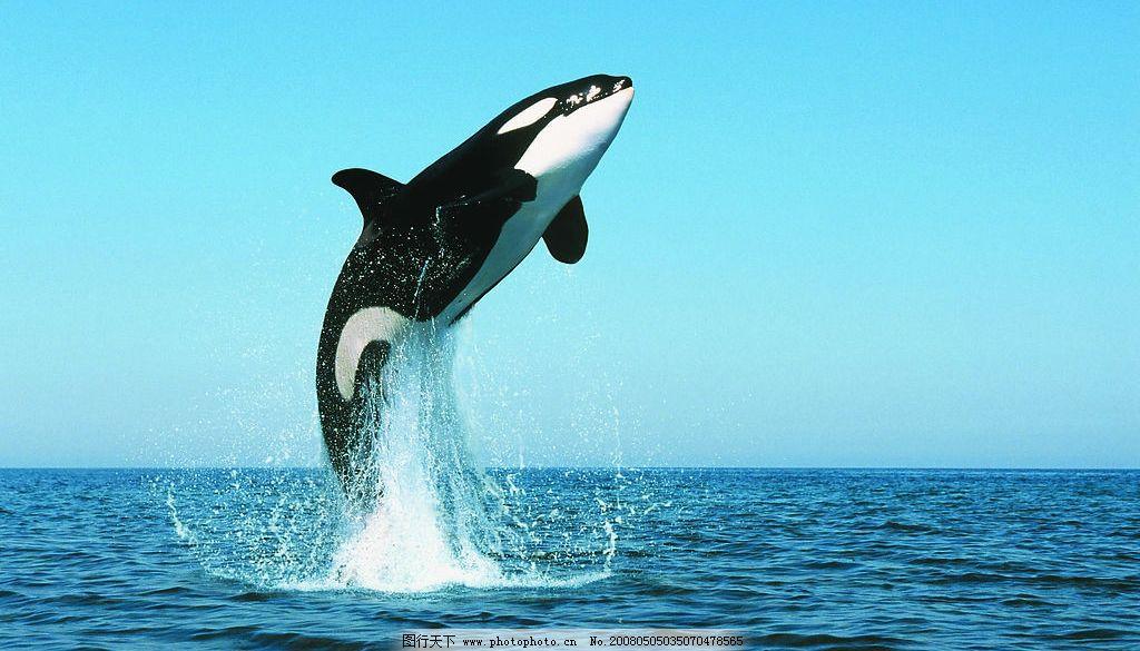鲸鱼虎鲸 蓝天 大海 虎鲸 跳出水面 生物世界 野生动物 动物 摄影图库