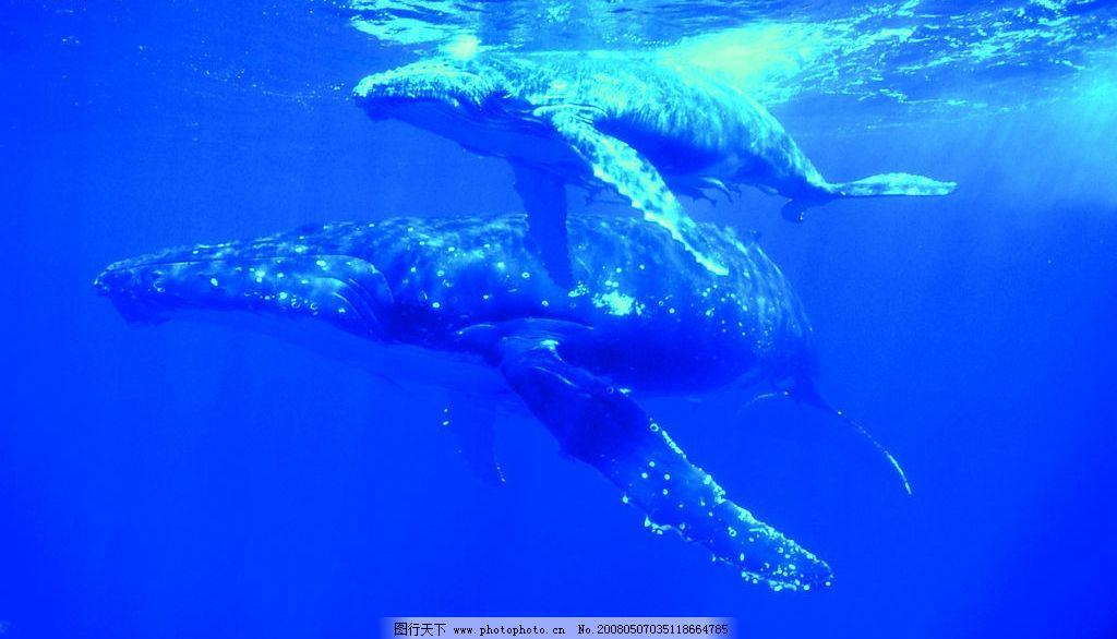 大翅鲸 海洋 大翅鲸在海里 生物世界 海洋生物 摄影图库 300 jpg