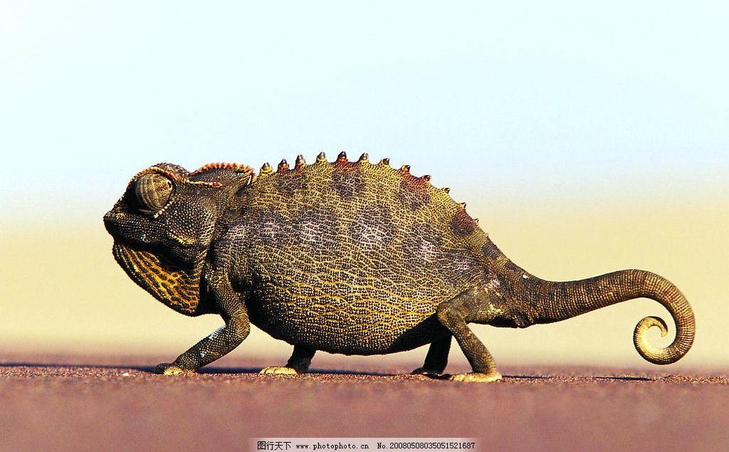 变色龙 地面爬行 生物世界 野生动物 动物 摄影图库 300 jpg