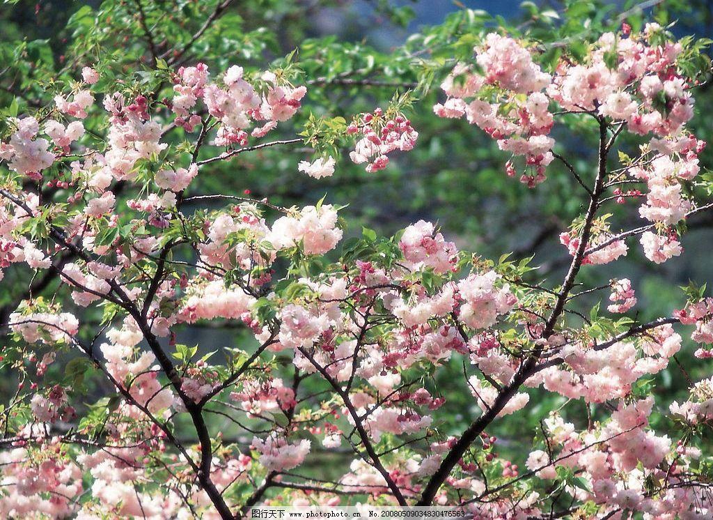梨花图片 梨花 漂亮的梨花 美丽的梨花 花 自然景观 自然风景 摄影