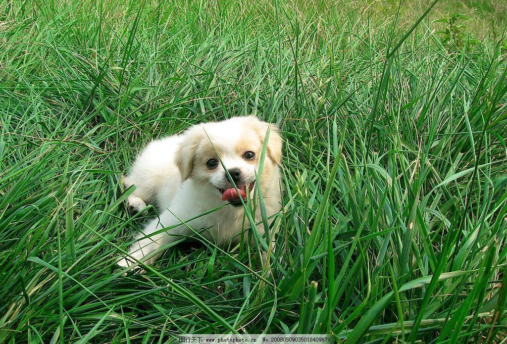 犬 名犬 小狗 蝴蝶泉 家禽家畜 生物世界 摄影图库 野生动物 可爱狗狗