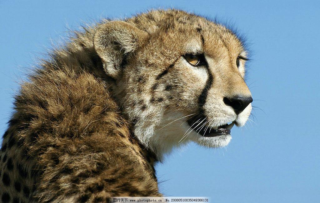 高清晰豹 豹子 蓝天 生物世界 野生动物 摄影图库 300dpi jpg