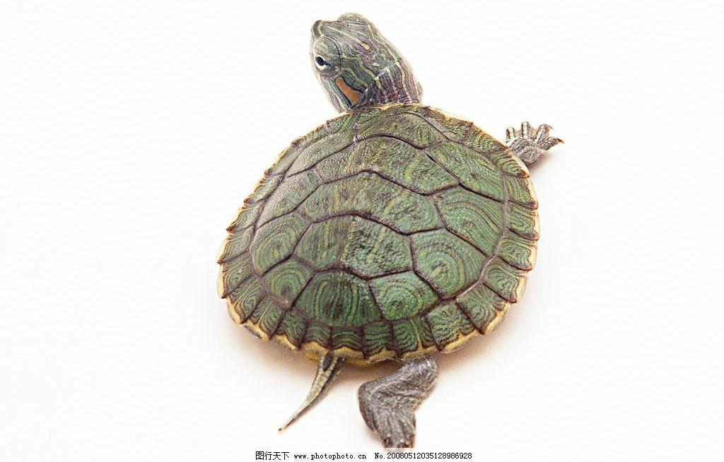 乌龟 生物世界 海洋生物 摄影图库
