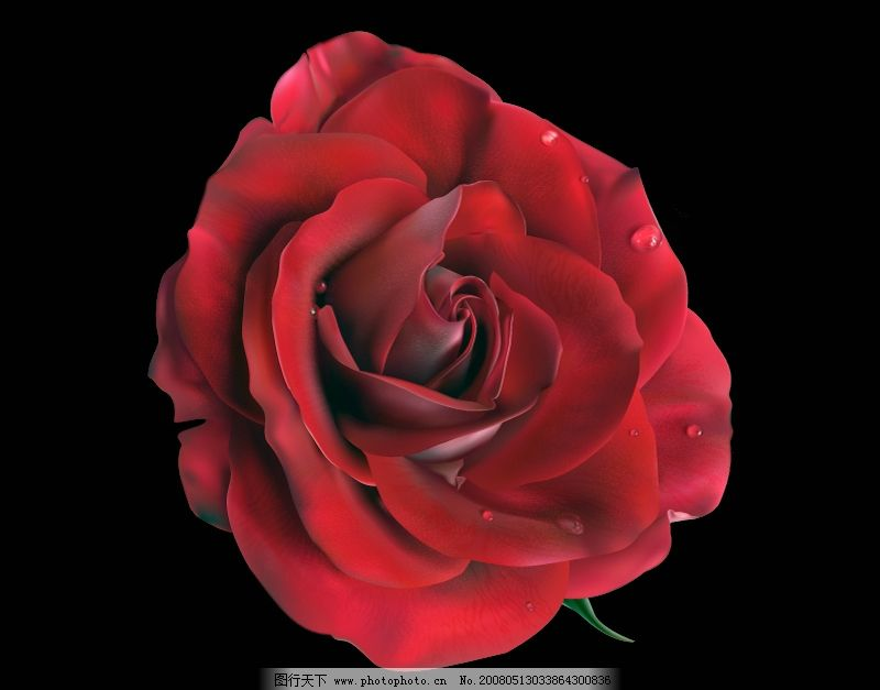 ai绘制逼真写实水珠红玫瑰矢量素材 花朵 花卉 玫瑰花 逼真矢量