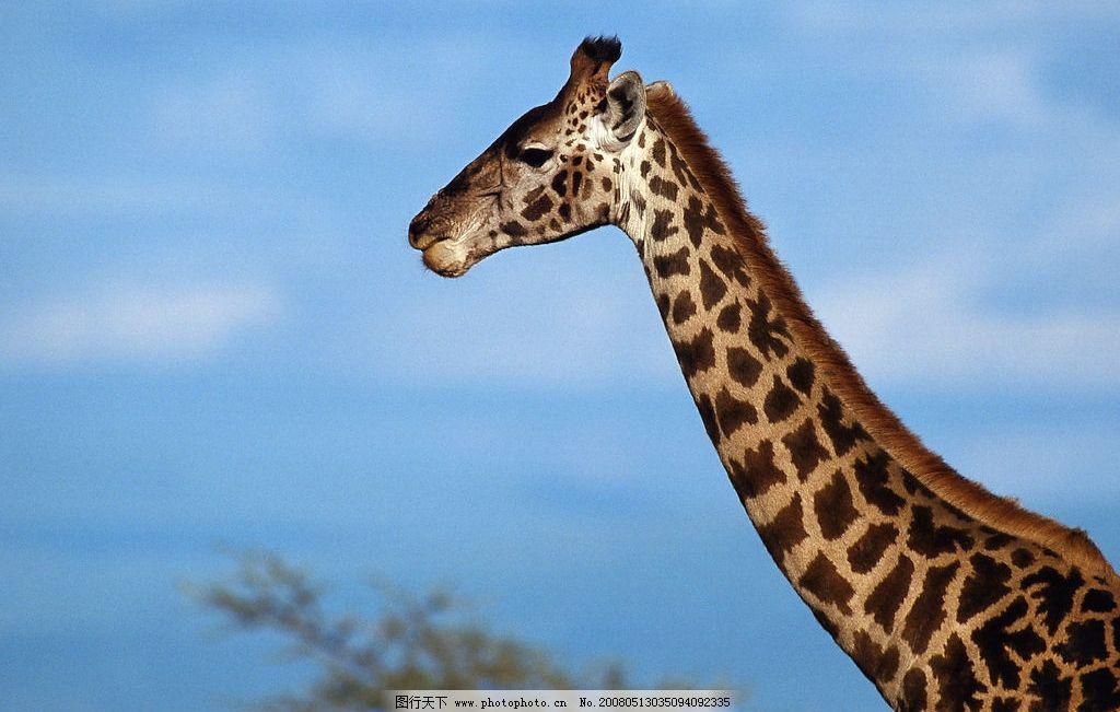 高清长颈鹿图片_野生动物_生物世界_图行天下图库