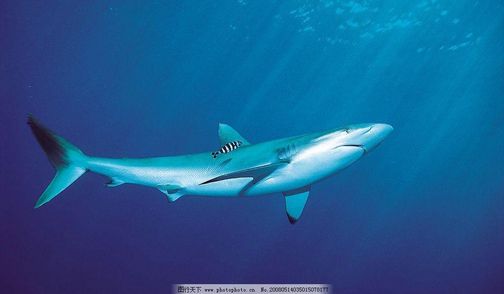 鲨鱼 海底 生物世界 野生动物 动物类 摄影图库