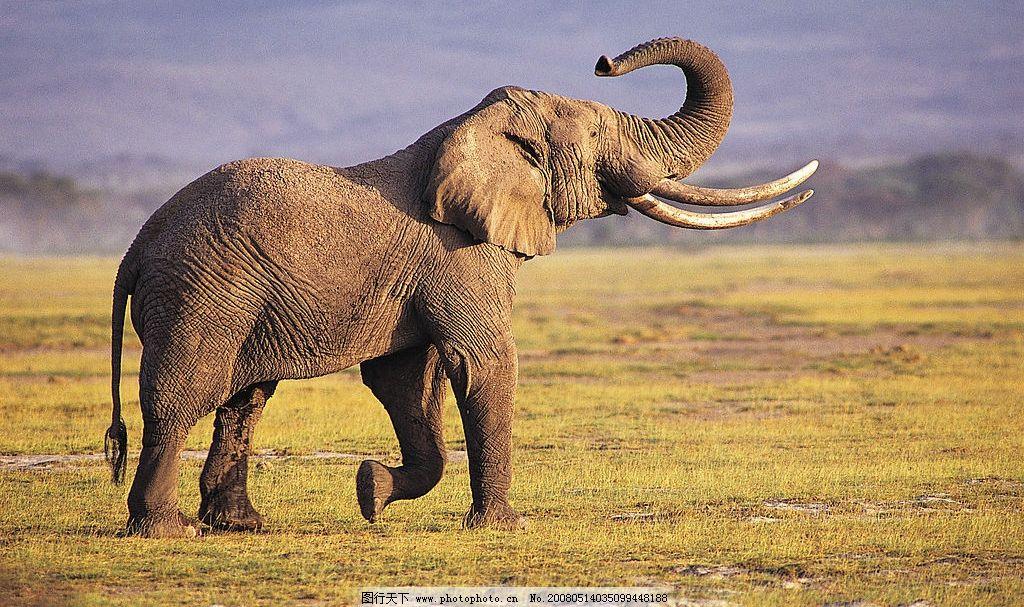 大象 草地 动物类 摄影图库