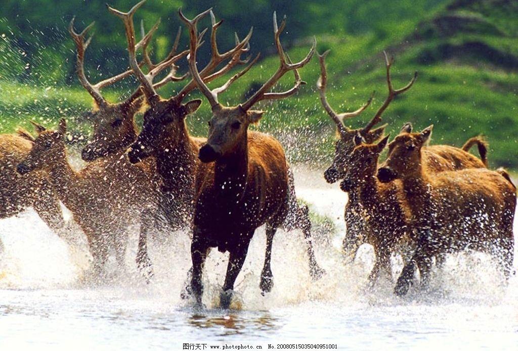 群鹿 群鹿奔跑 生物世界 野生动物 动物 摄影图库 72 bmp