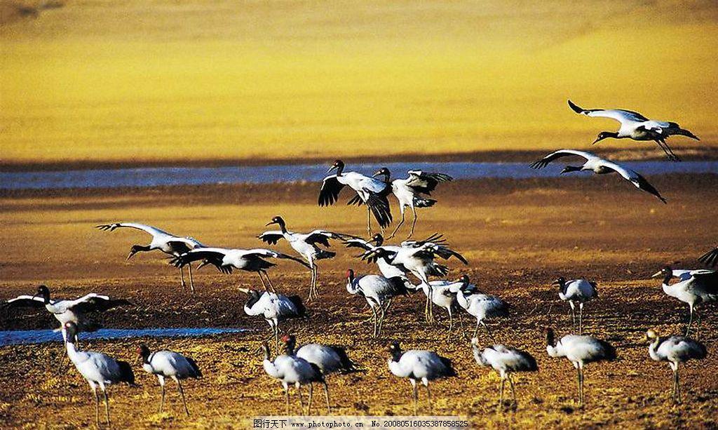 群鸟 黄昏 鸟 鸟群 动物 金色 美景 房地产 意境 艺术 飞翔 唯美 风景