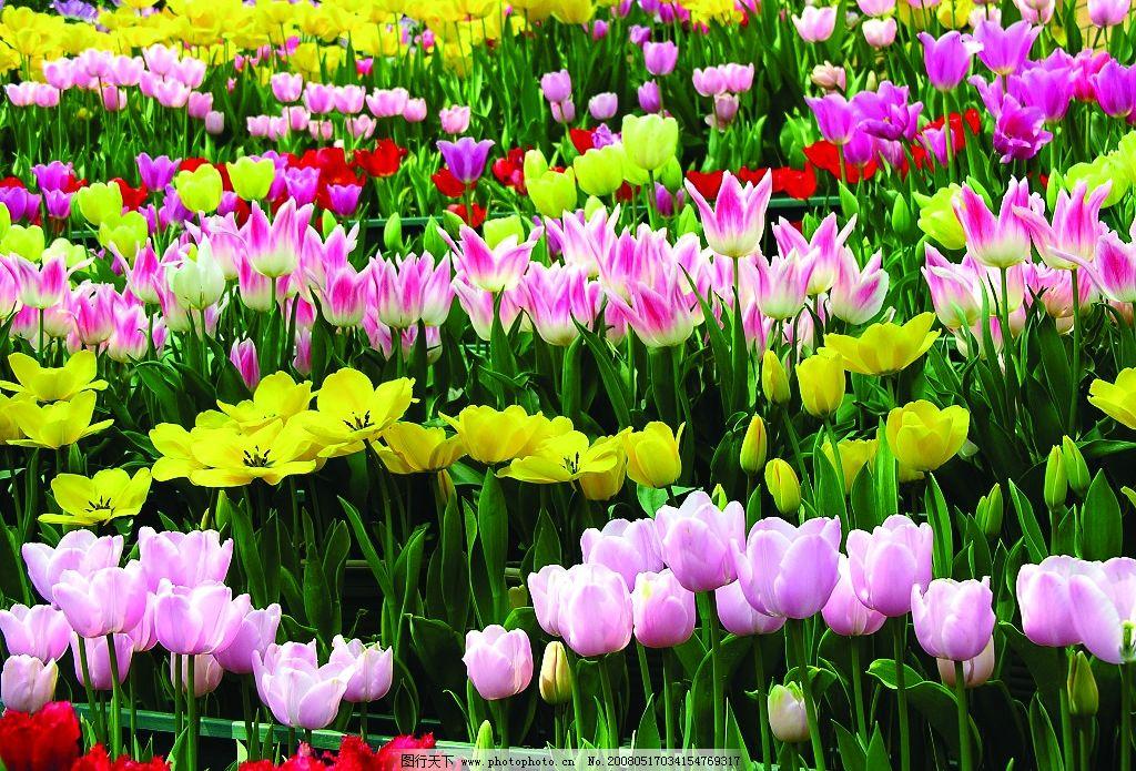 郁金香 花 鲜花 旅游摄影 自然风景 漂亮的鲜花 摄影图库