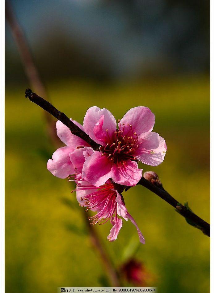 桃花 花 自然景观 自然风景 摄影图库 300 jpg
