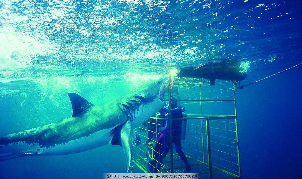 捕捉鲨鱼 人 铁笼 钓鲨鱼 潜水 海底 海水 海洋动物 摄影图库