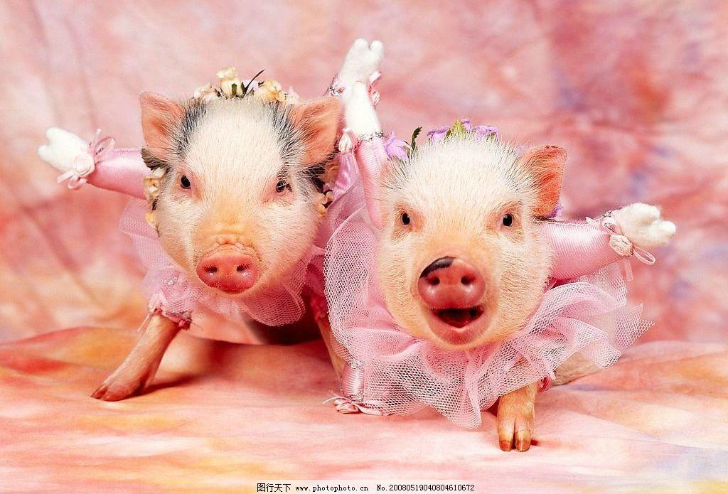 小猪织法_小猪图片