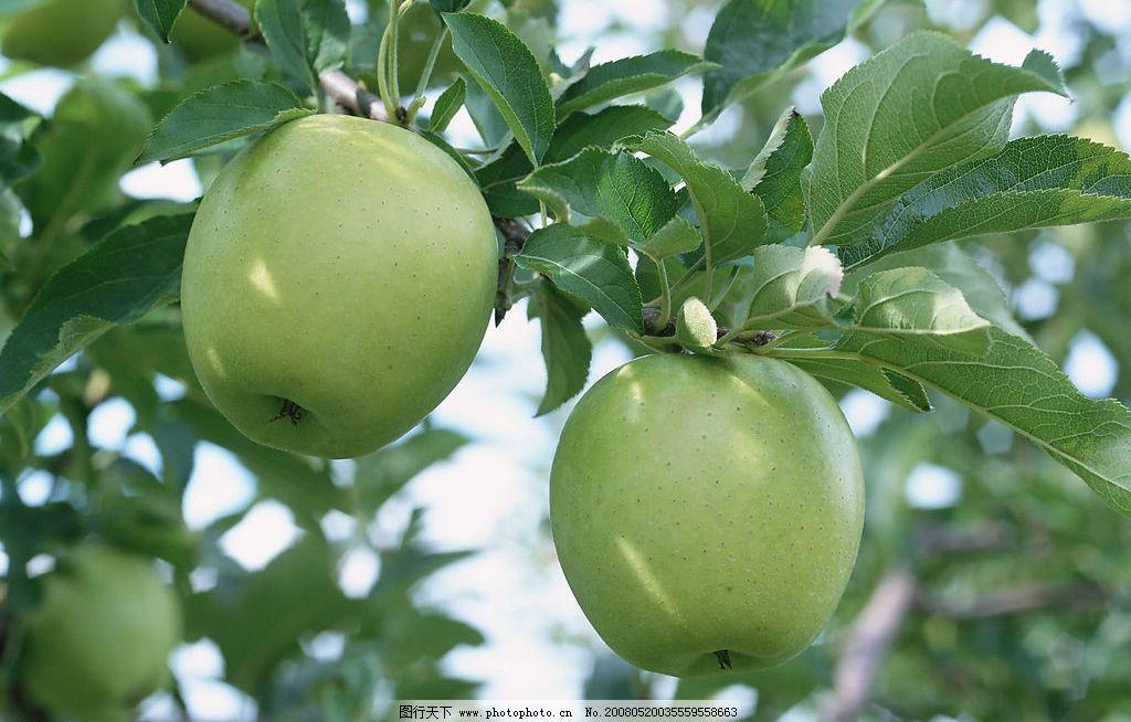 水果 苹果 青苹果 叶子 苹果树 绿色 背景 生物世界 摄影图库图片