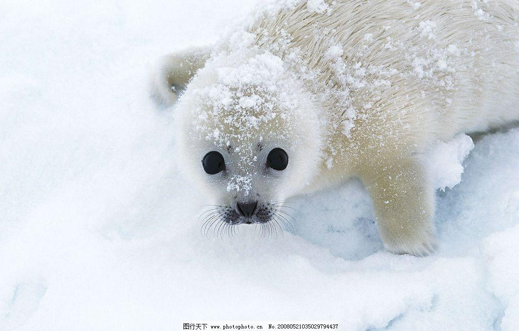 可爱海豹图片