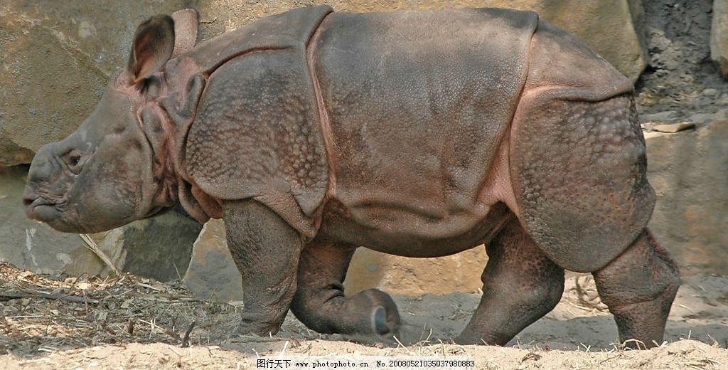 河马 野生动物 铠甲 庞大 生物世界 动物图片 摄影图库 300 jpg