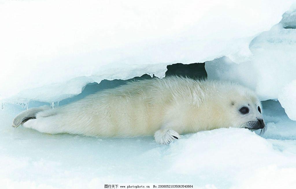 雪地里的海豹 雪地 冰雪