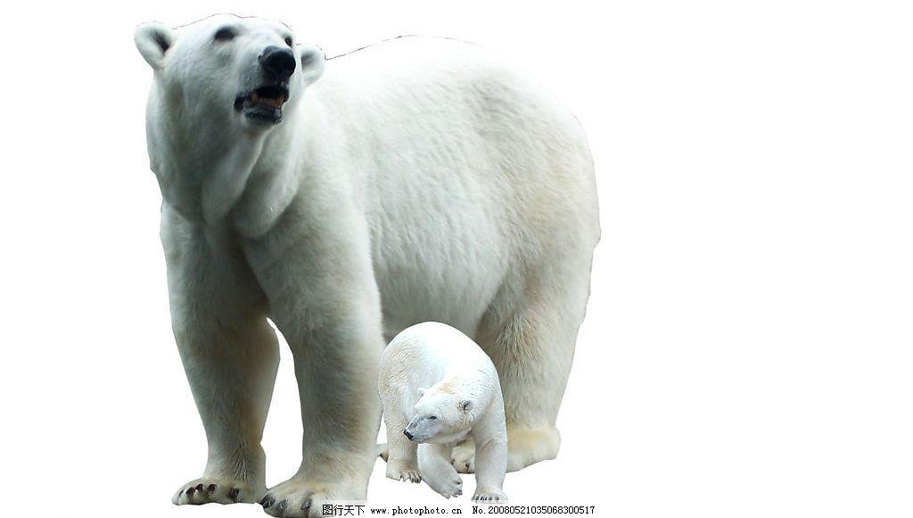 北极熊 熊 北极 生物世界 野生动物 摄影图库 300 jpg