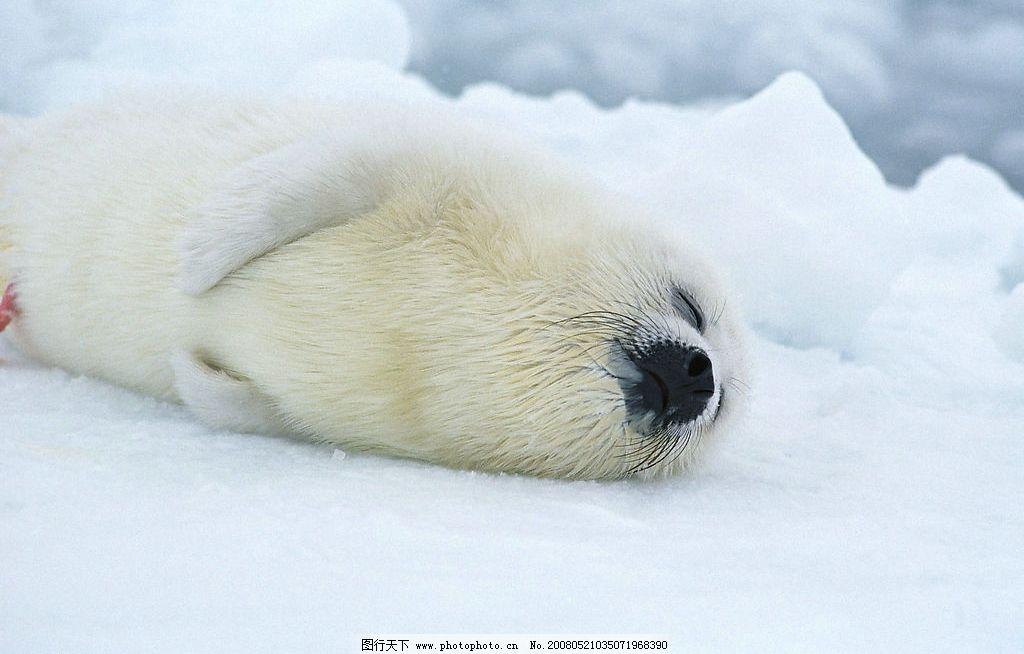 雪地里的海豹 雪地 冰雪 生物世界 野生动物 摄影图库 350 jpg 350dpi