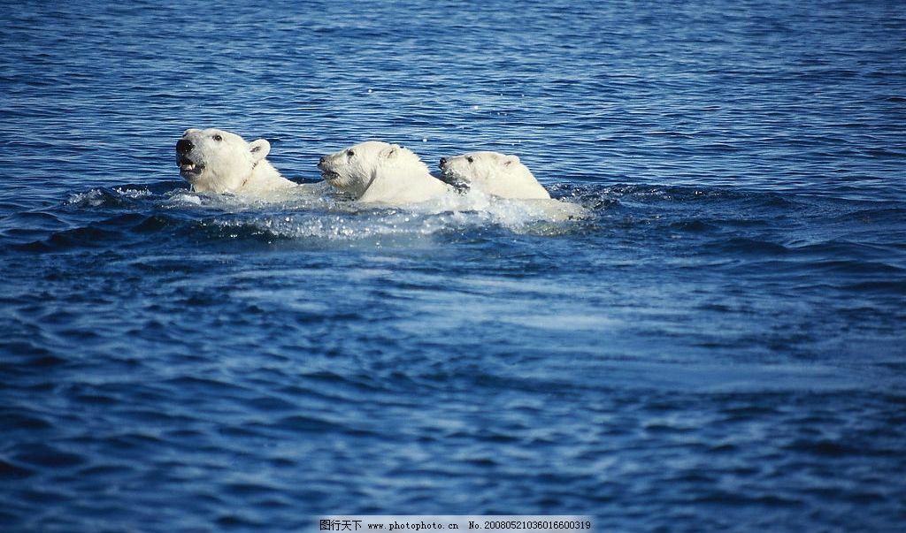 海里的北极熊图片
