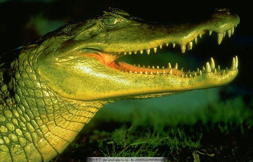 鳄鱼 野生动物 鳄鱼 生物世界 野生动物 摄影图库 300 jpg
