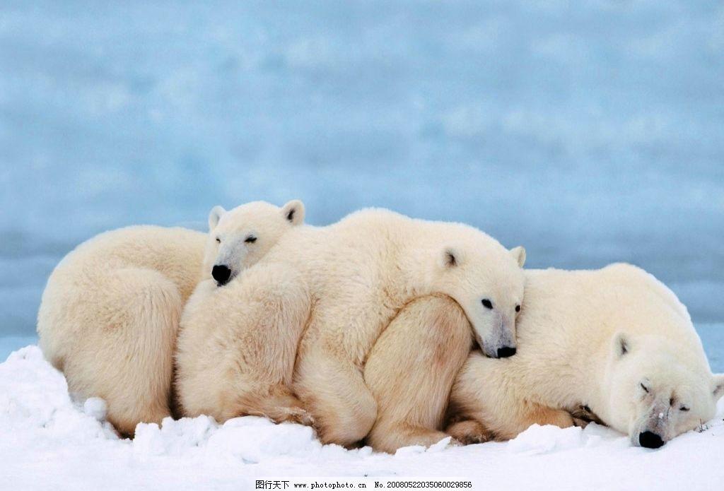 懒懒的北极熊 可爱;懒;白色 生物世界 野生动物 可爱动物 摄影图库 72