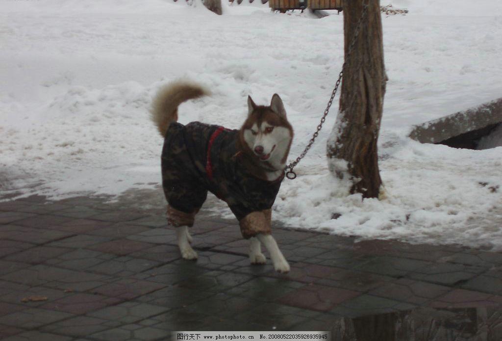 穿迷彩服的狗 狗狗 可爱 小狗 穿衣服的狗 动物 摄影图库