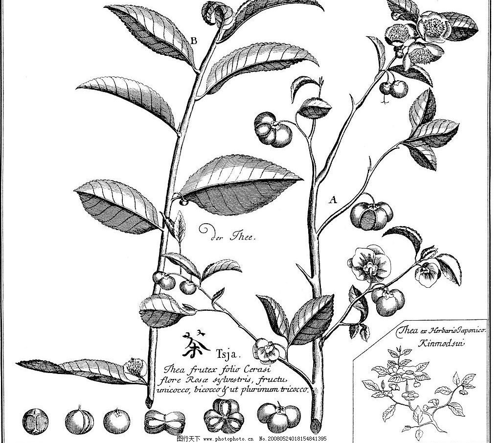 手绘茶标本图图片
