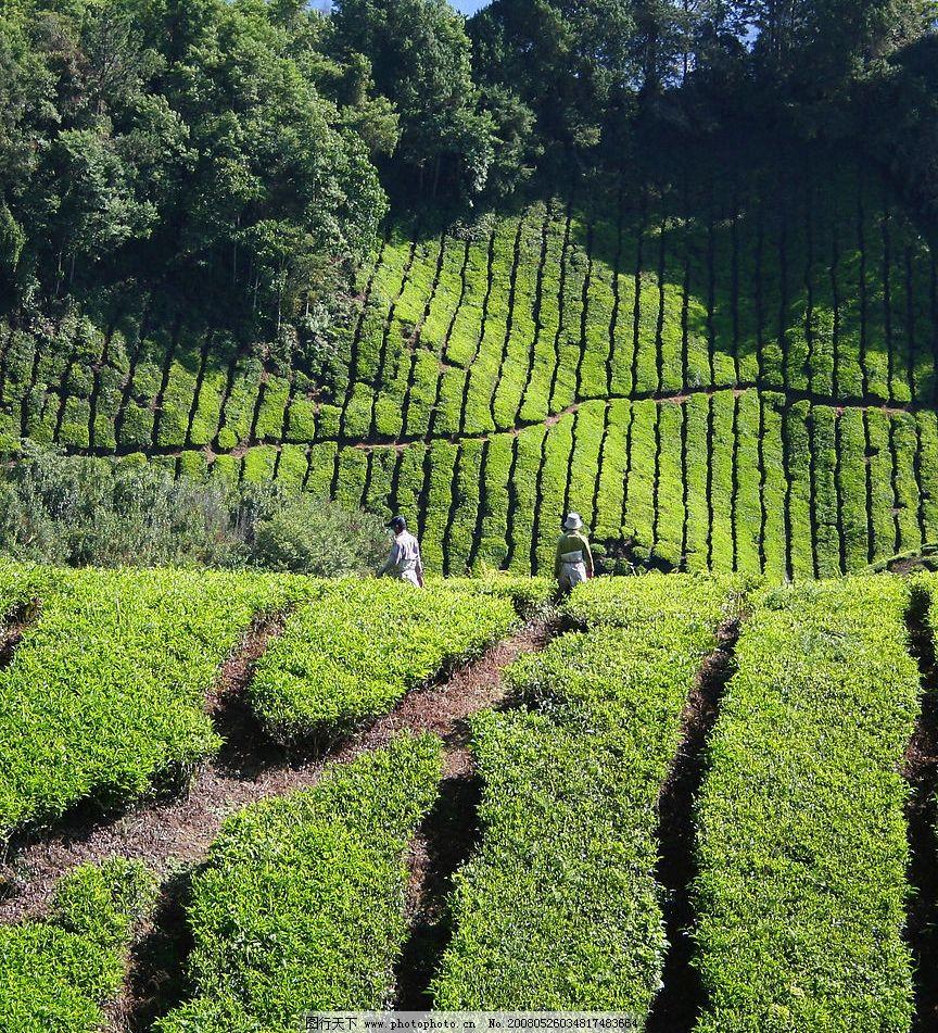 绿茶 山 自然景观 自然风景 摄影图库 72 jpg