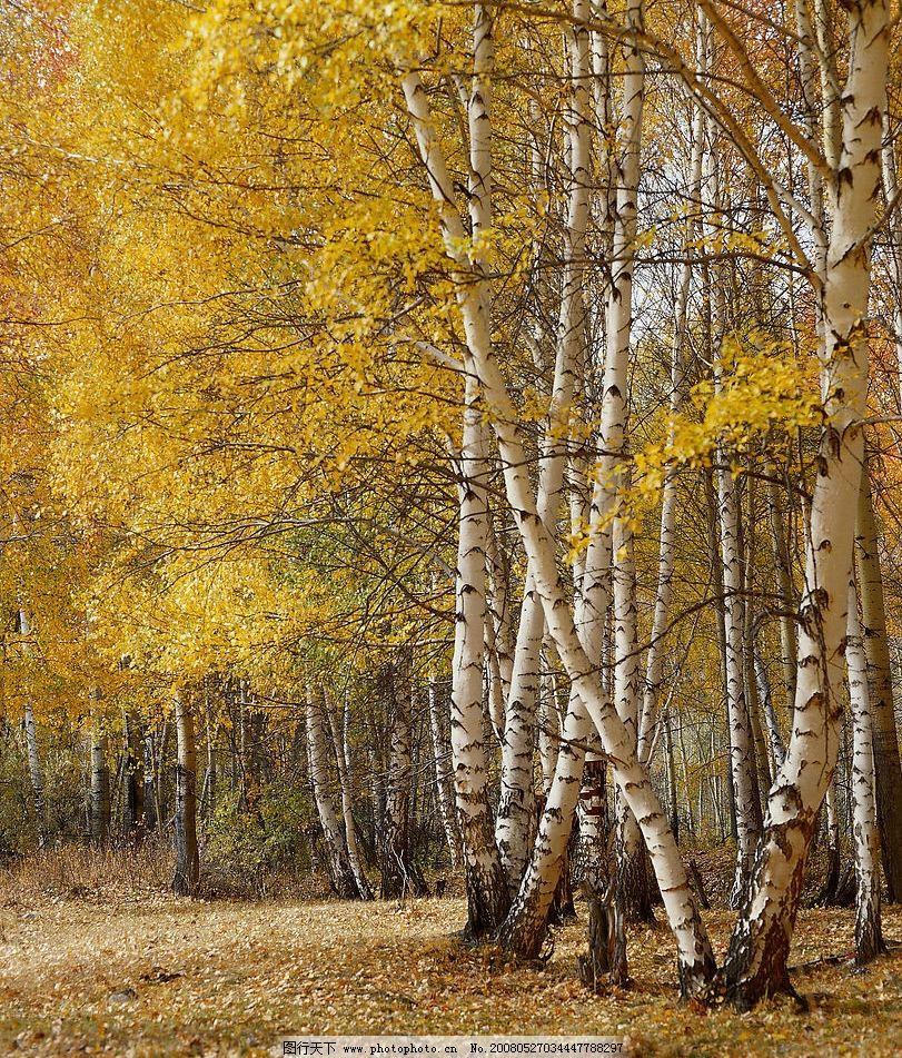 白桦林 乡思树 自然景观 山水风景 精美风光图 摄影图库