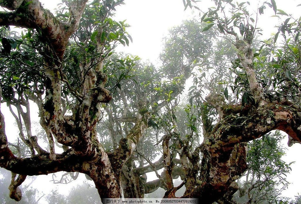 茶树王 普洱茶 野生古茶树 茶叶素材 摄影图库