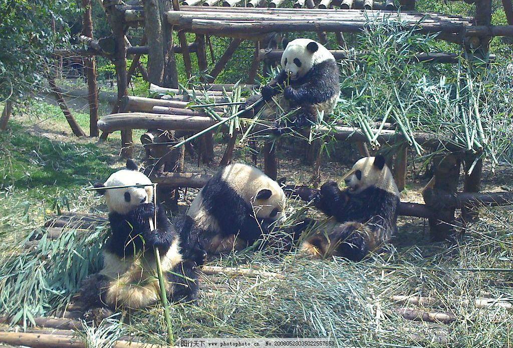 熊猫吃竹子 熊猫吃竹子 生物世界 野生动物 大熊猫 摄影图库 72 jpg